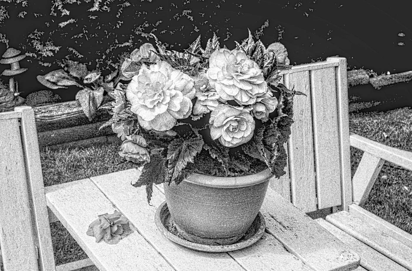 Potted Begonia